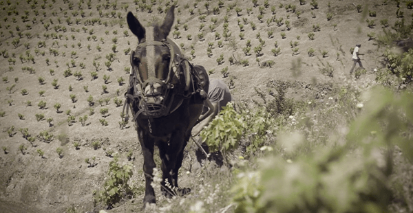 Poda llaurat Porrera – Família Torres